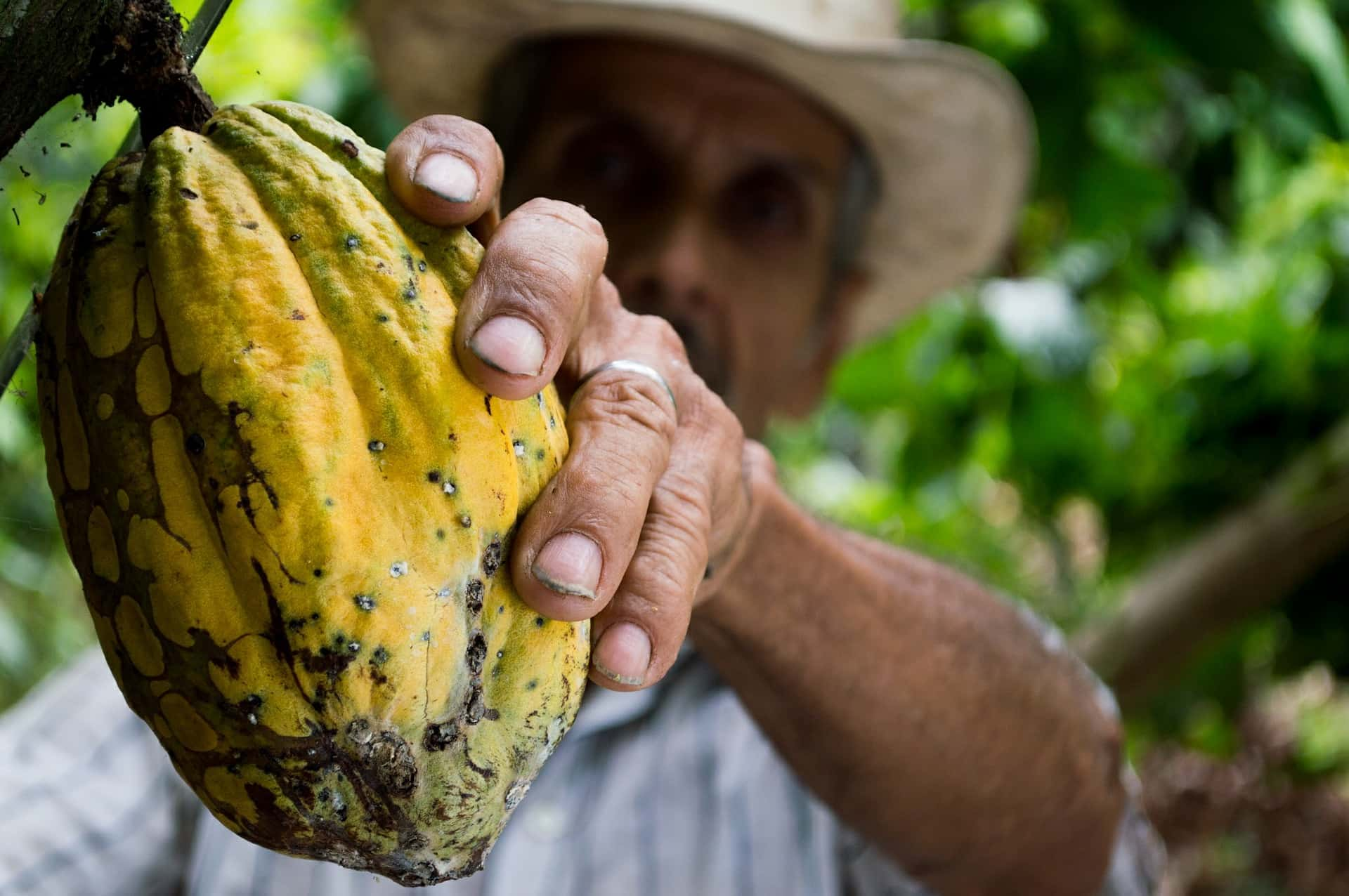 Man holding a cacao fruit